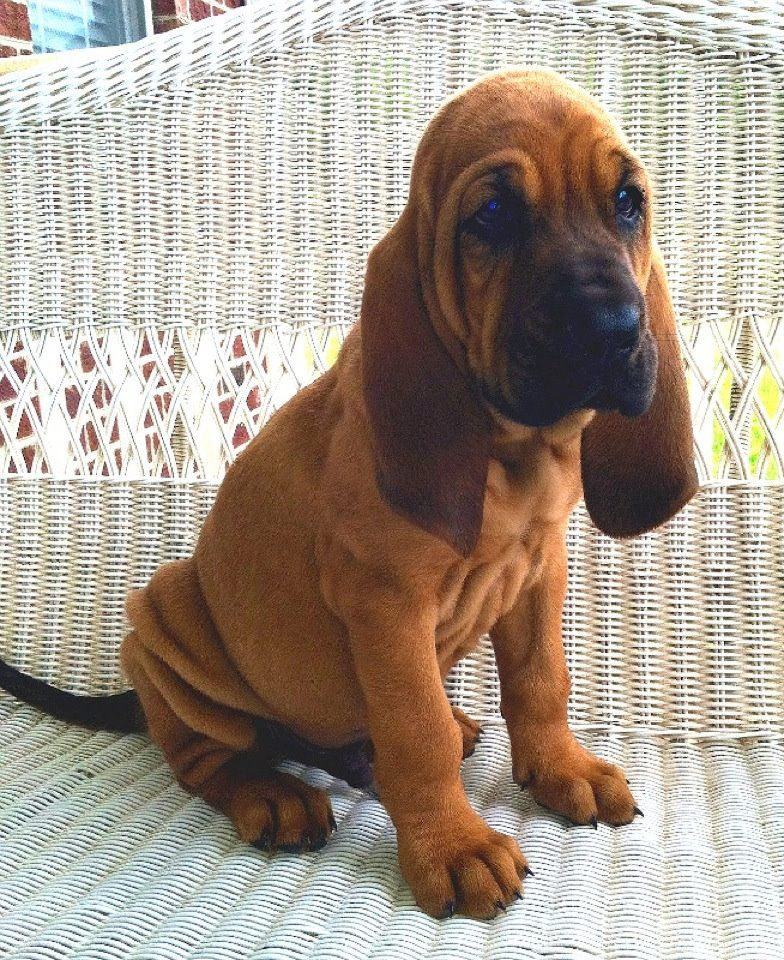 Bloodhound: Photo #12