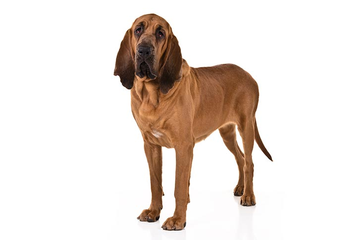 Bloodhound: Photo #2