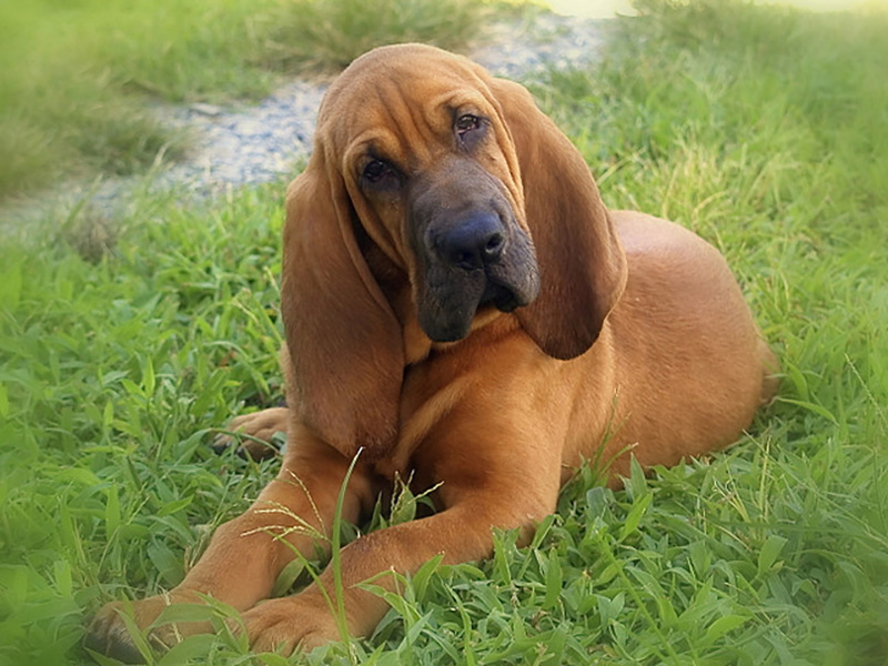 Bloodhound: Photo #5