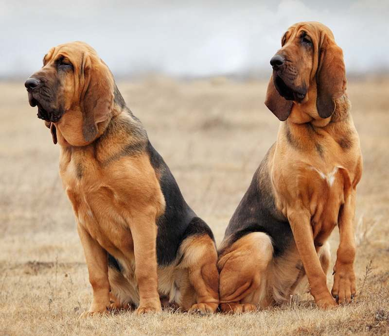 Bloodhound: Photo #8