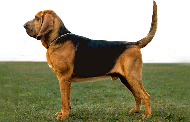 Bloodhound: Photo #9
