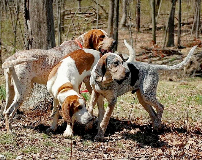 American English Coonhound: Photo #10