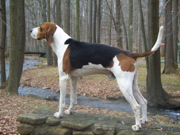 American English Coonhound: Photo #9