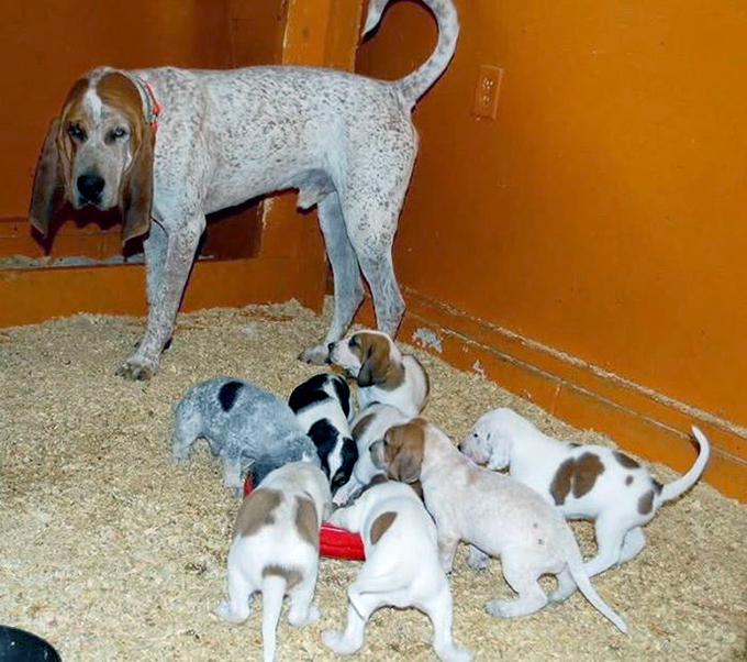 American English Coonhound: Photo #12