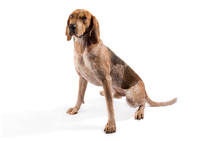 American English Coonhound: Photo #1