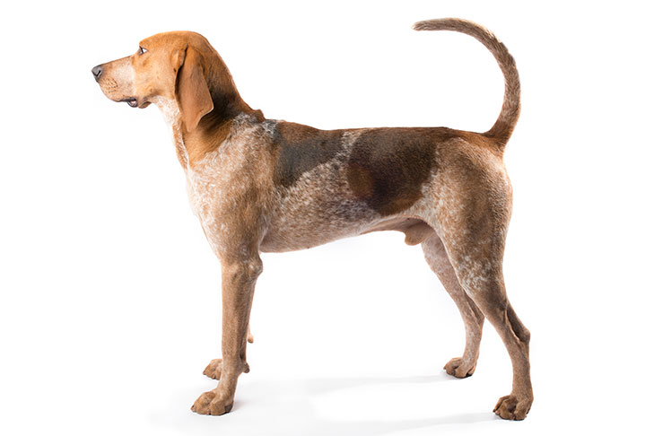 American English Coonhound: Photo #2