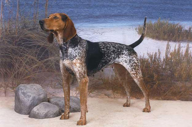 American English Coonhound: Photo #3