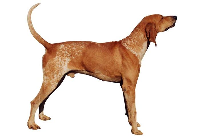 American English Coonhound: Photo #6
