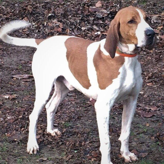 American English Coonhound: Photo #8