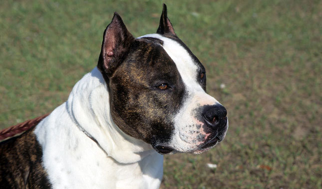 American Staffordshire Terrier: Photo #11
