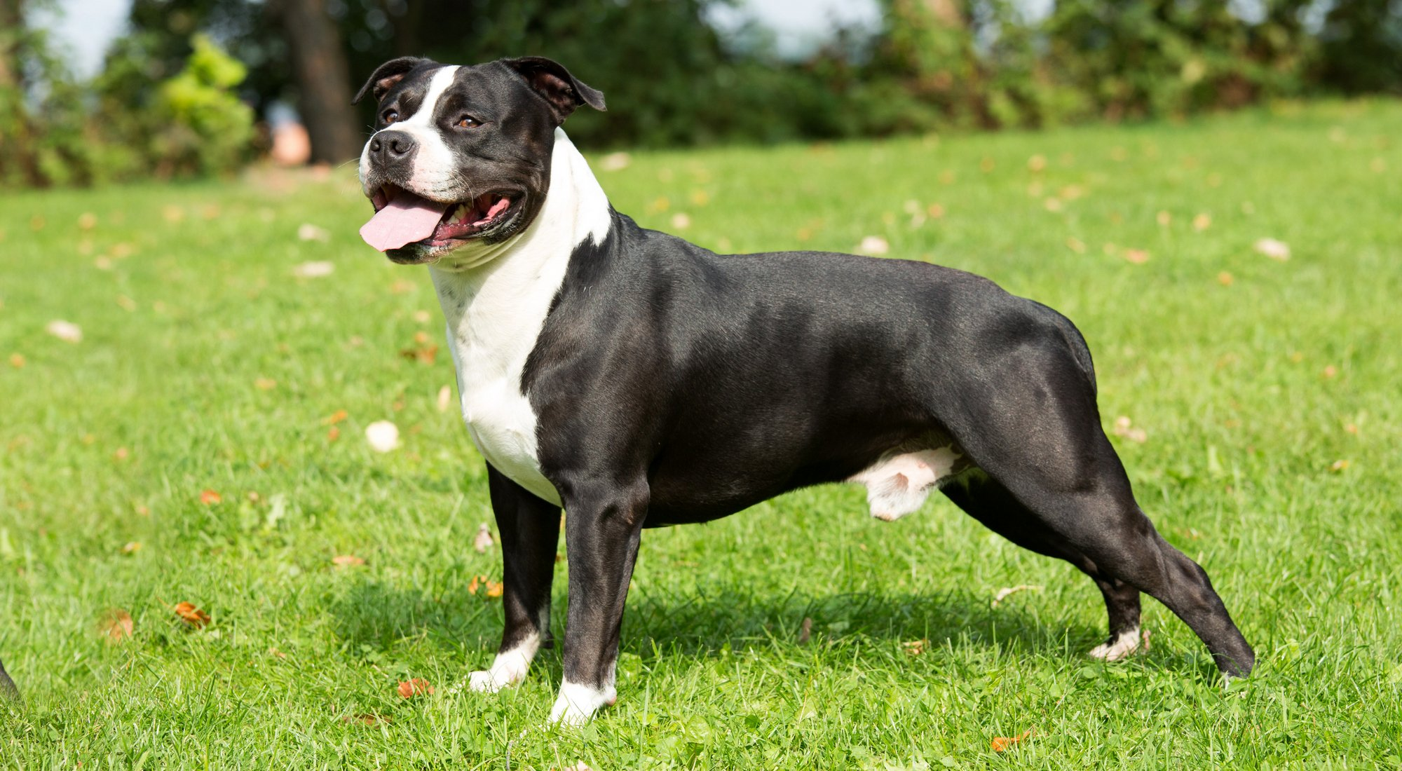 American Staffordshire Terrier: Photo #10