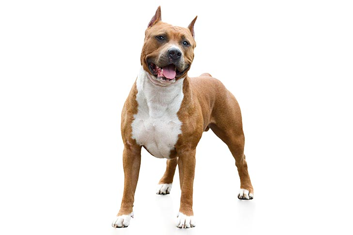 American Staffordshire Terrier: Photo #1