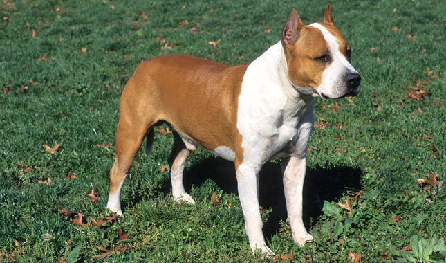 American Staffordshire Terrier: Photo #2