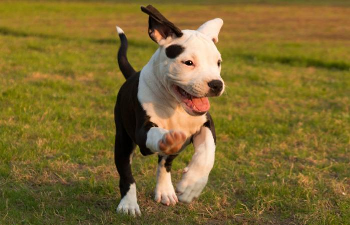 American Staffordshire Terrier: Photo #3