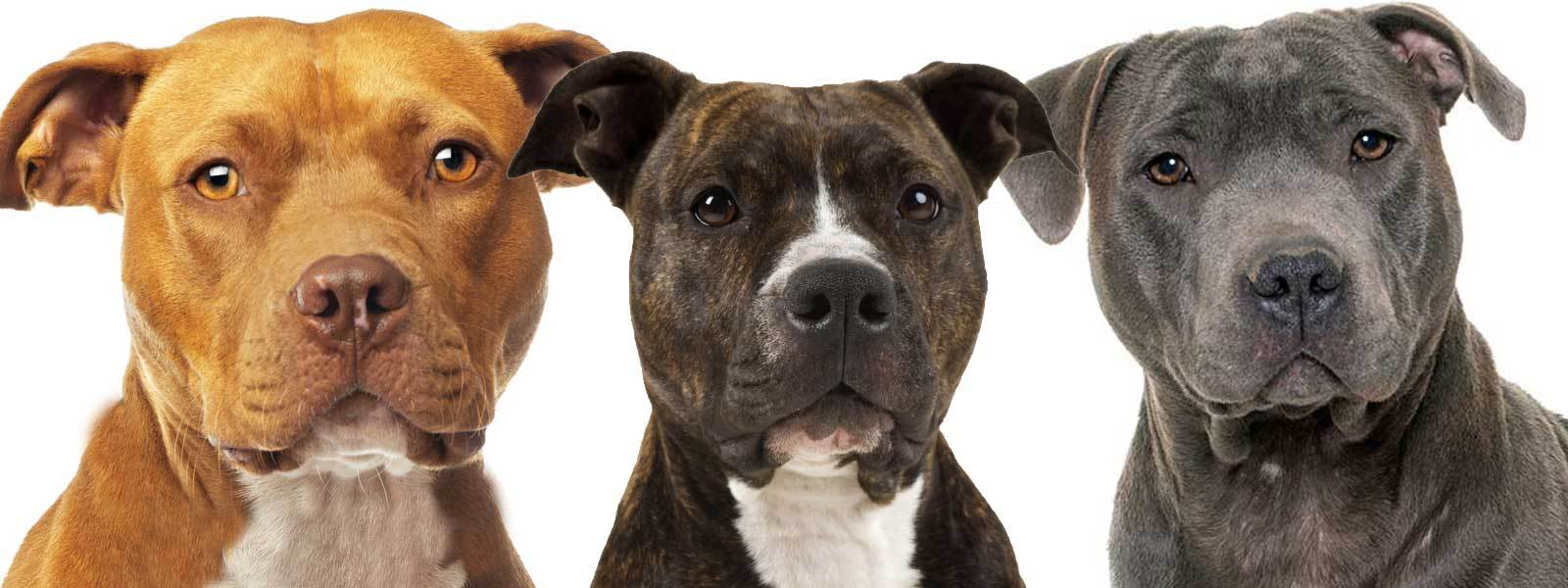 American Staffordshire Terrier: Photo #4