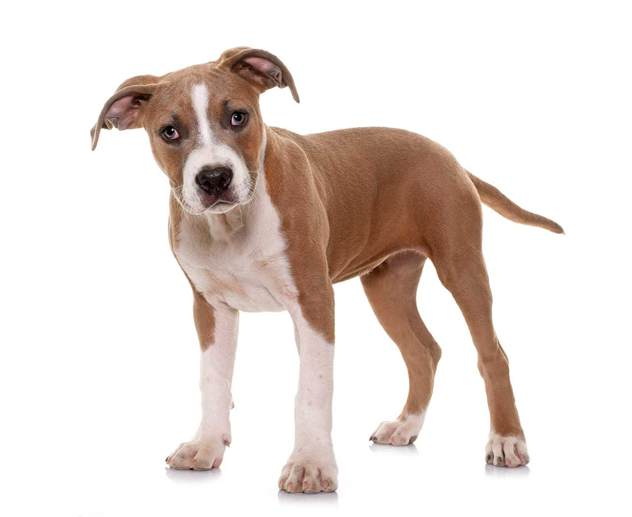 American Staffordshire Terrier: Photo #7