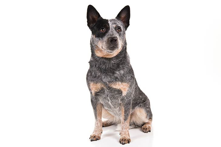 Australian Cattle Dog: Photo #1