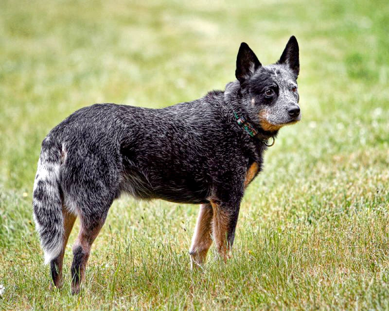Australian Cattle Dog: Photo #2