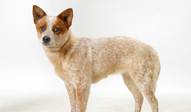 Australian Cattle Dog: Photo #5