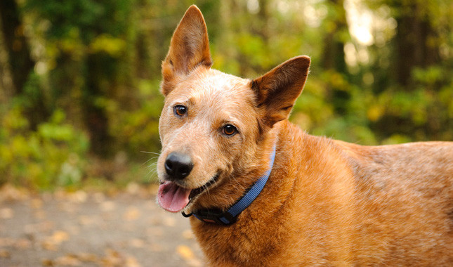 Australian Cattle Dog: Photo #6