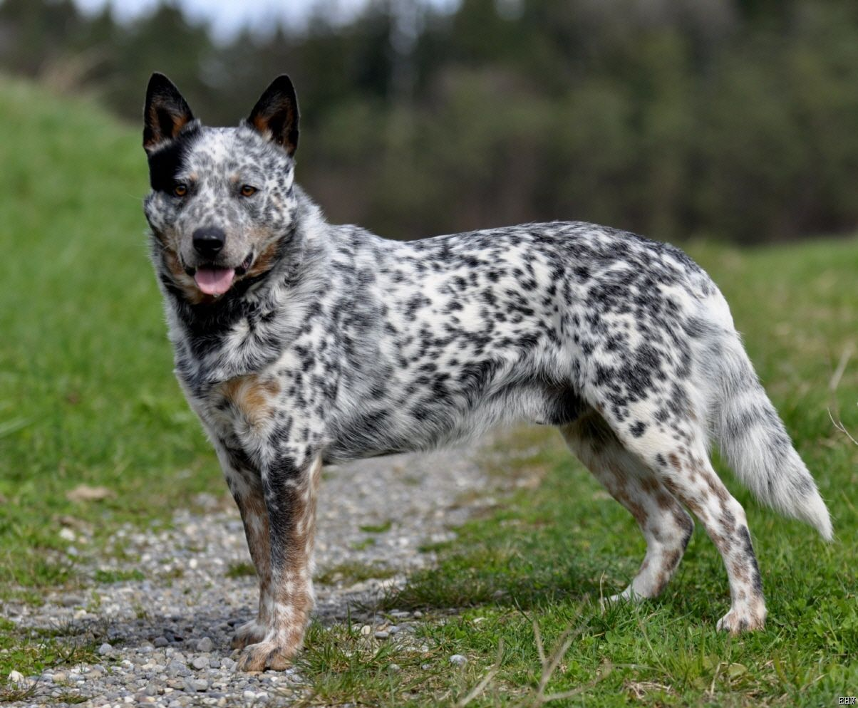 Australian Cattle Dog: Photo #7