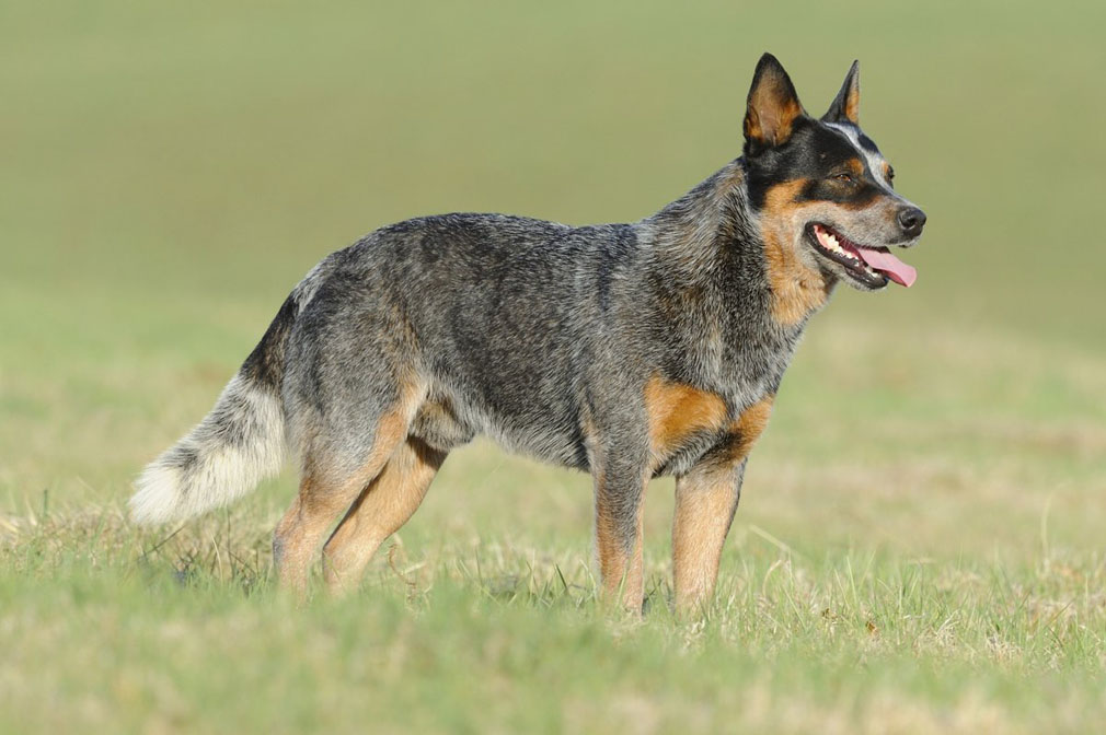 Australian Cattle Dog: Photo #8