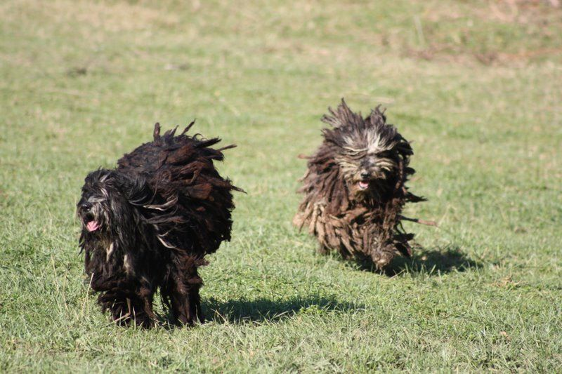 Bergamasco: Photo #10
