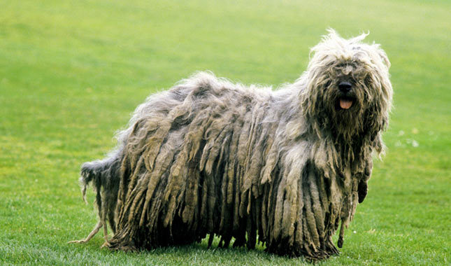 Bergamasco: Photo #1