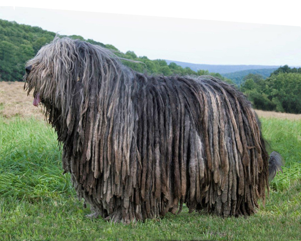 Bergamasco: Photo #3