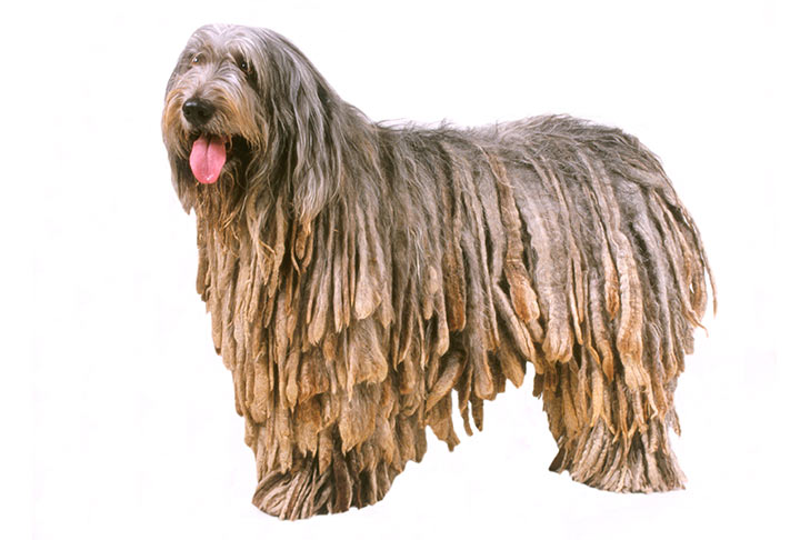 Bergamasco: Photo #4