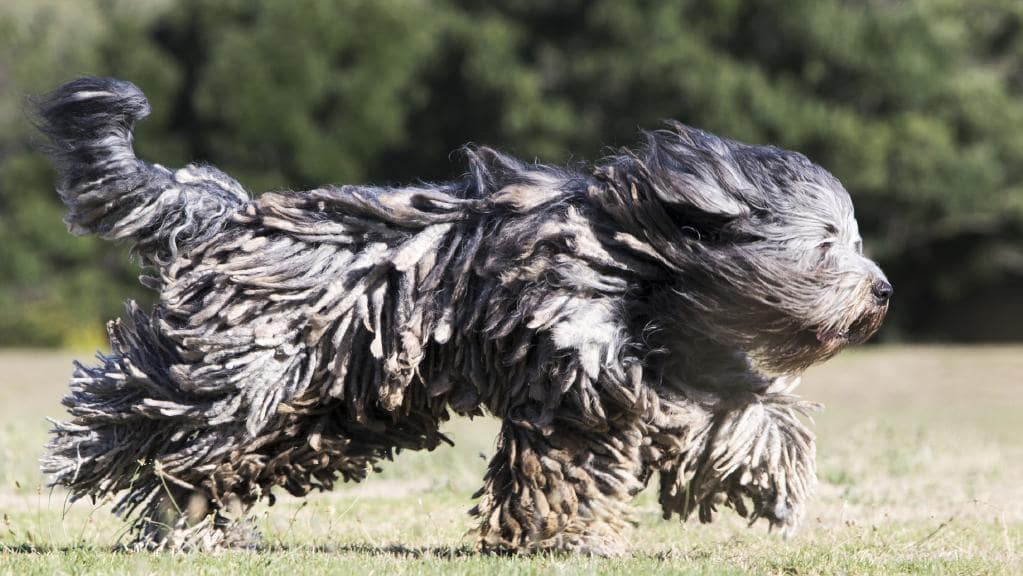 Bergamasco: Photo #6