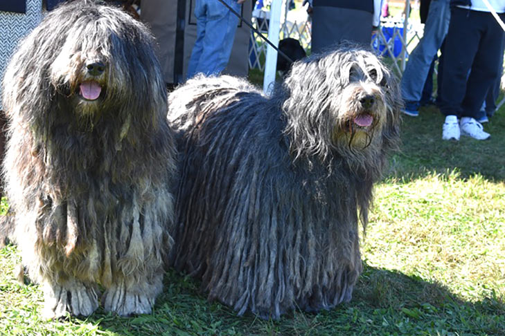Bergamasco: Photo #7
