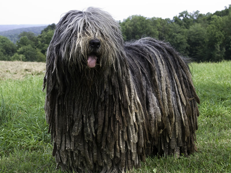 Bergamasco: Photo #8