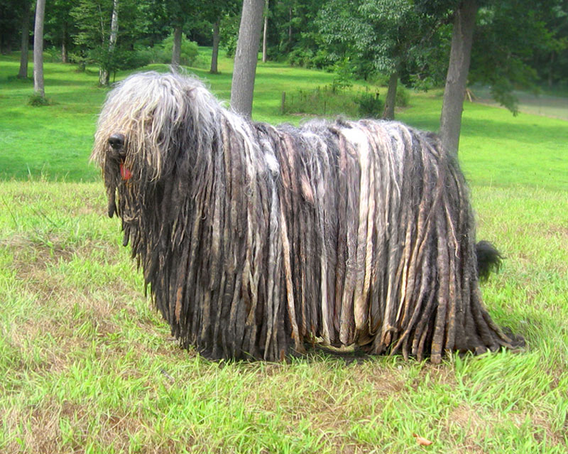 Bergamasco: Photo #9