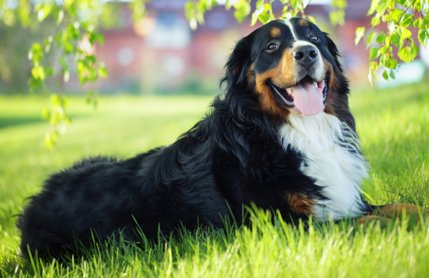 Bernese Mountain Dog: Photo #7