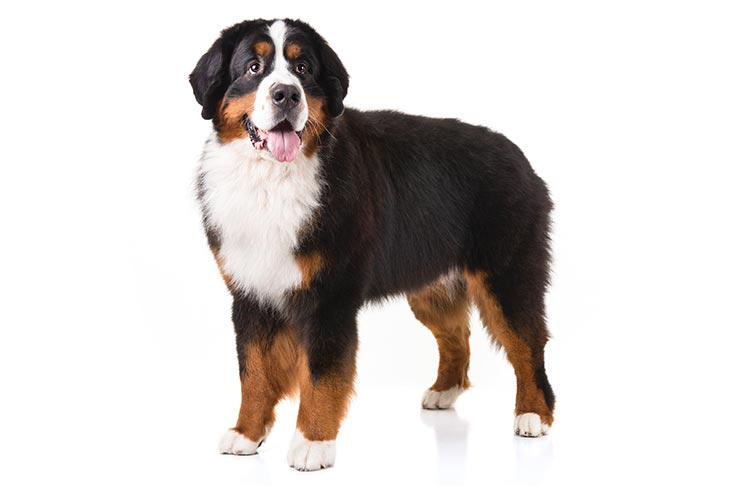 Bernese Mountain Dog: Photo #10