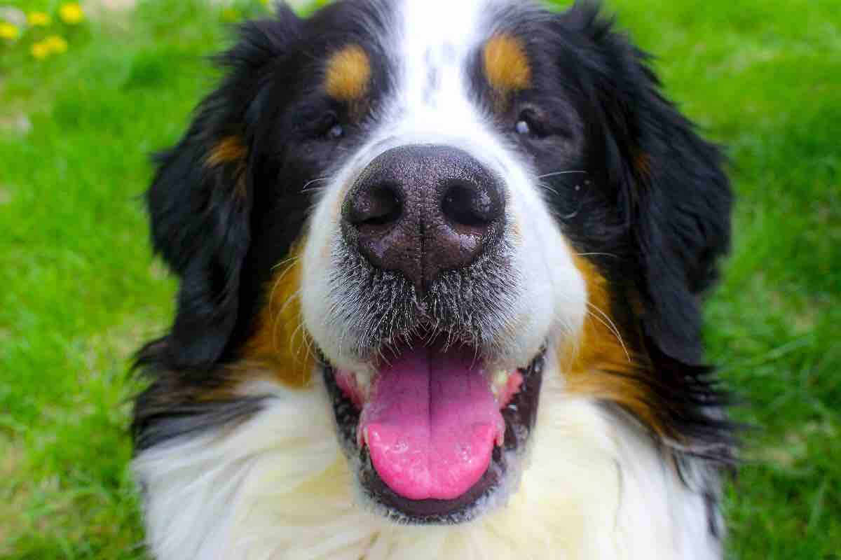 Bernese Mountain Dog: Photo #2