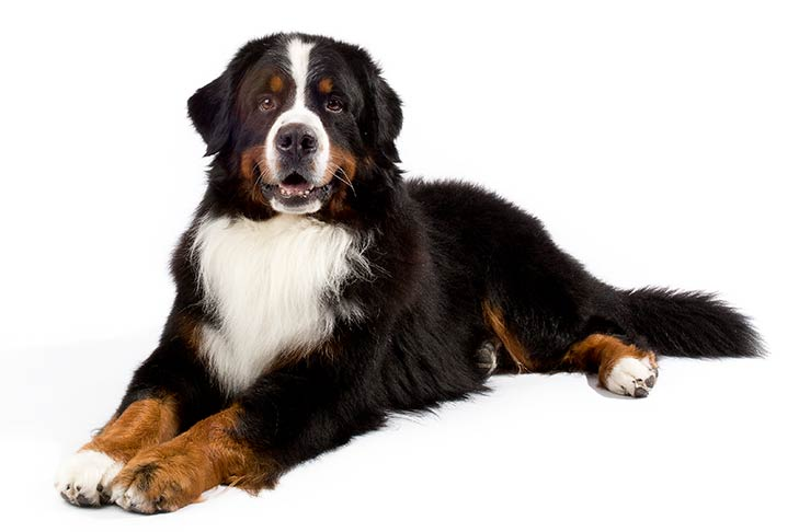 Bernese Mountain Dog: Photo #9