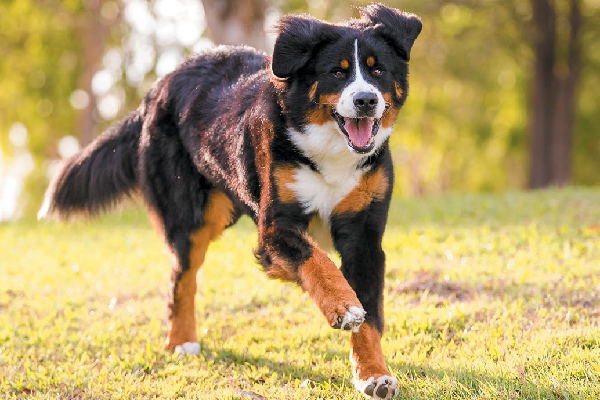 Bernese Mountain Dog: Photo #3