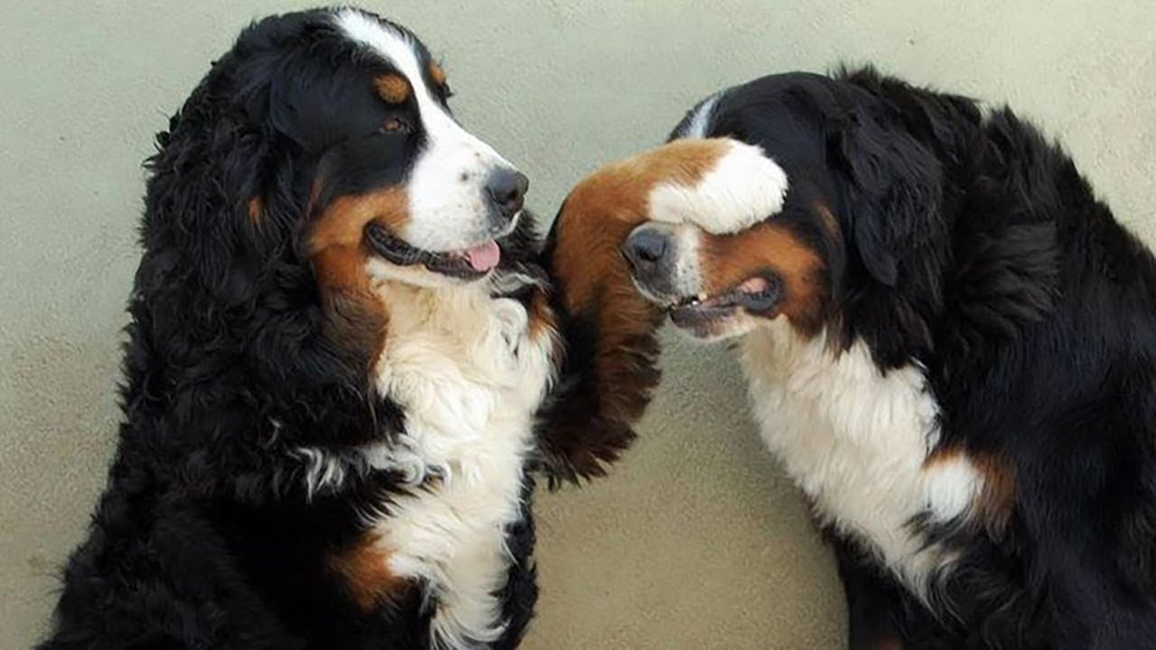 Bernese Mountain Dog: Photo #4
