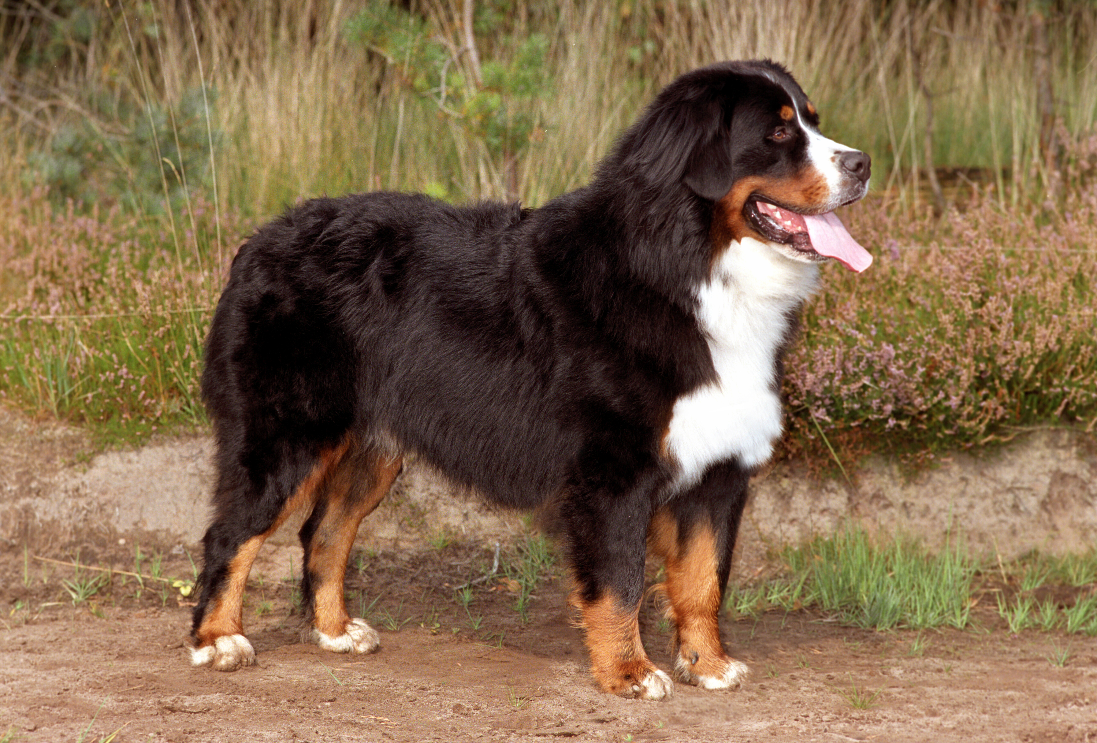 Bernese Mountain Dog: Photo #12