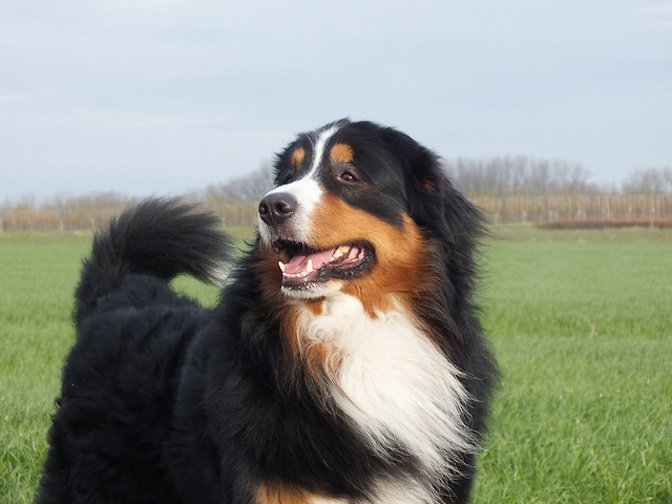 Bernese Mountain Dog: Photo #6