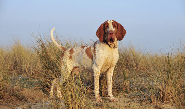 Bracco Italiano: Photo #11
