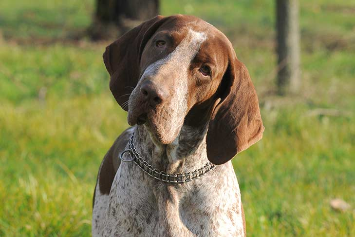 Bracco Italiano: Photo #1
