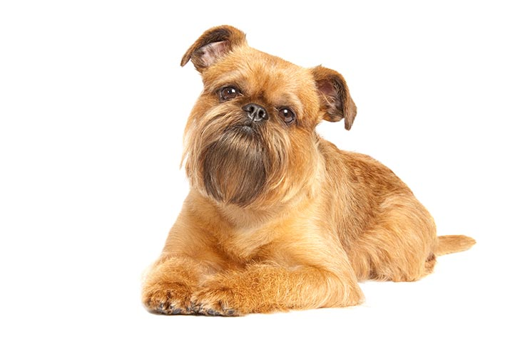 Brussels Griffon: Photo #1