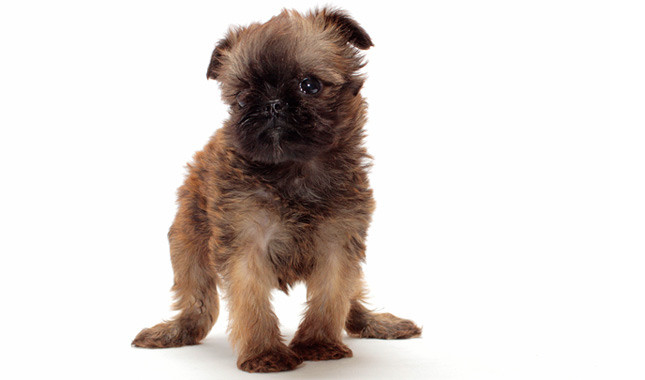 Brussels Griffon: Photo #3