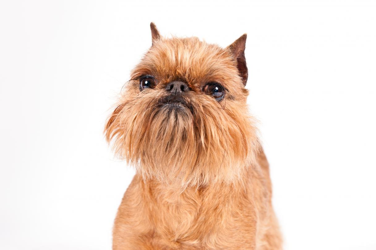 Brussels Griffon: Photo #7