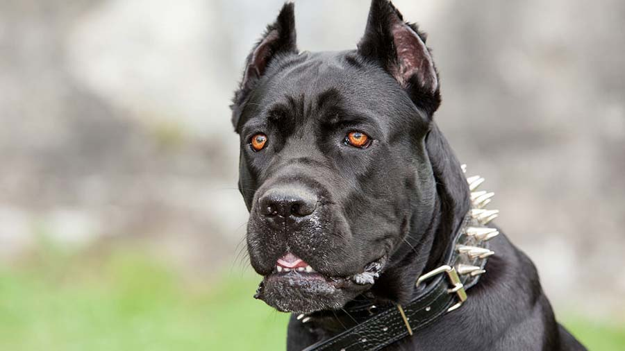 Cane Corso: Photo #1