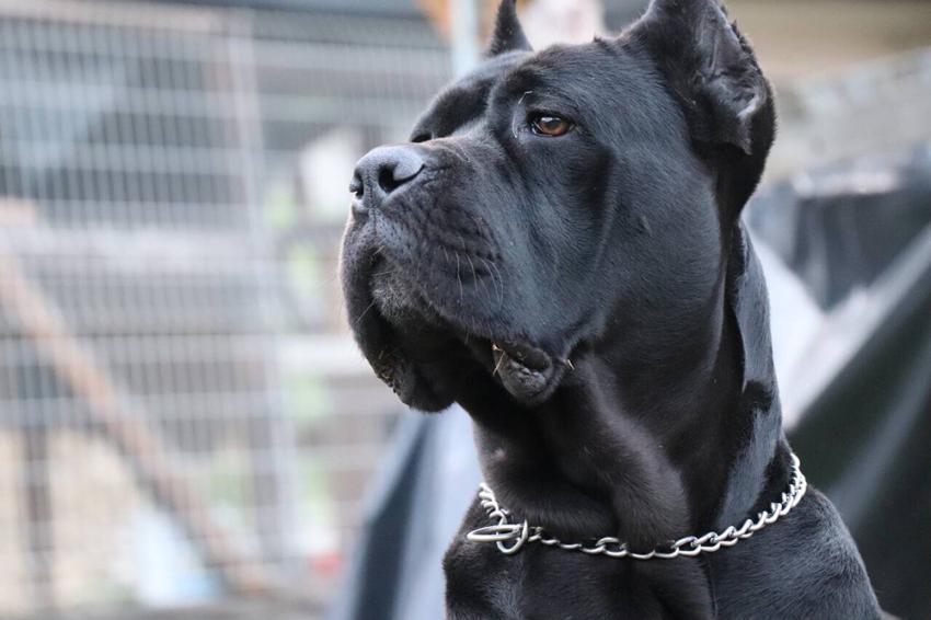 Cane Corso: Photo #2