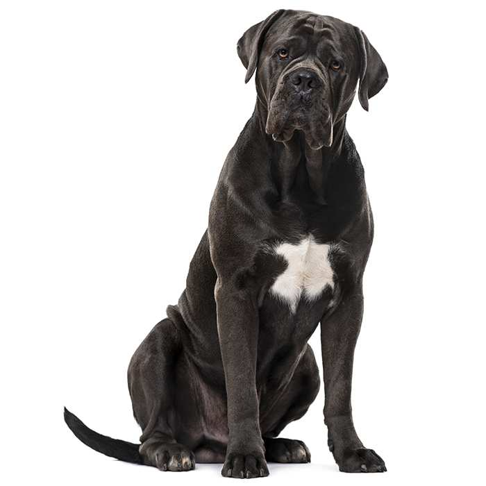 Cane Corso: Photo #6